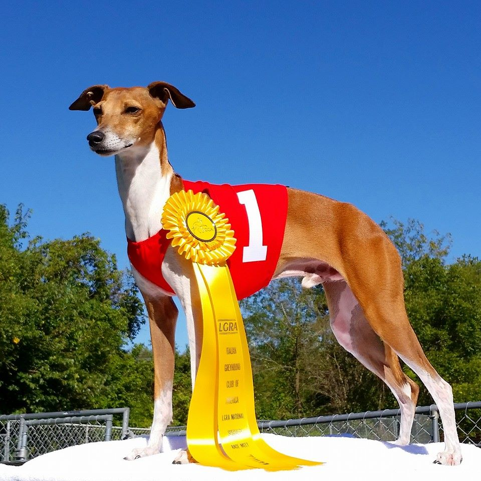 Sonny Italian Greyhound Nationals 2014